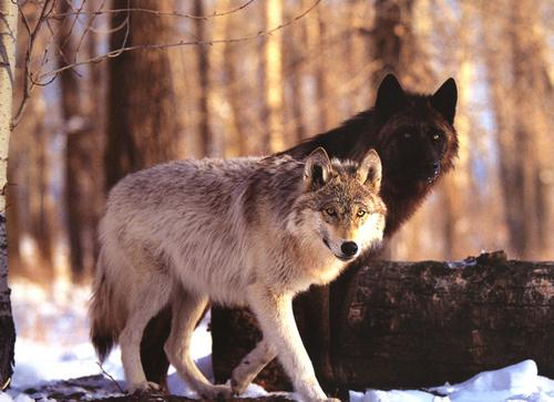 Loup-Blanc-Loup-Noir-dualite-de-l'homme