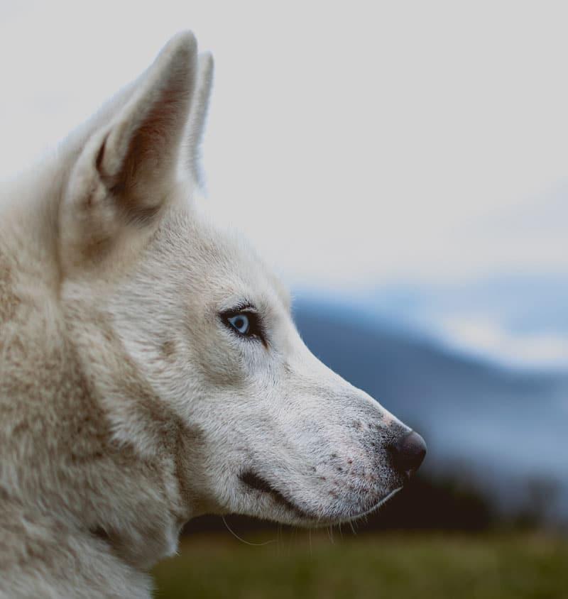 Légende du loup noir et du loup blanc - Croire en soi